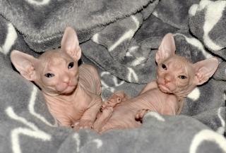 Links Amur, rechts Afina, 5 Wochen alt